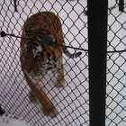 Photo for John Ball Zoo Tiger Exhibit